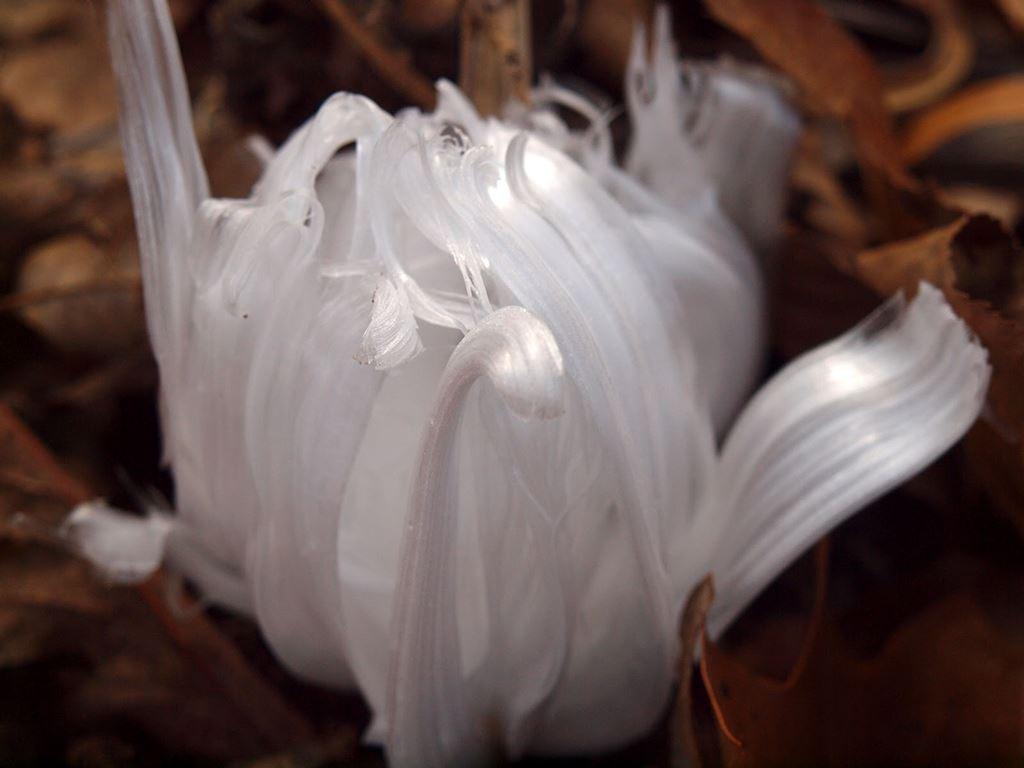 Flores de geada, um fenômeno natural de rara beleza